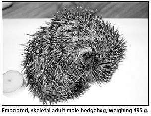 Emanciated Hedgehog